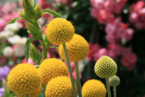 flowerCraspedia